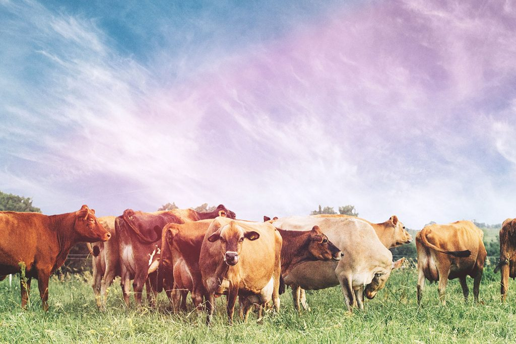 A row of cows in a field at Branched Oak Farm in Omaha, Nebraska.